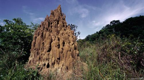 photo: termite mounds in the Democratic Republic of Congo (bbc.com)